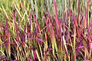 Imperata cylindrica Red baron 01