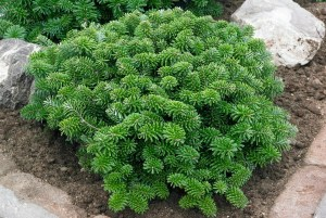 Abies koreana ´Brillant´