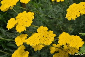 Achillea filipendulina Cloth of Gold