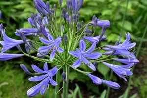 Agapanthus ´Dr.Brouwer´