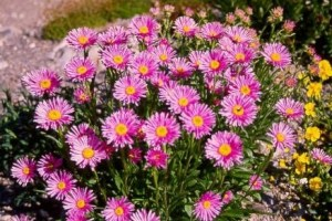Aster alpinus ´Happy End´