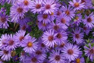 Aster dumosus ´Wood´s Purple´