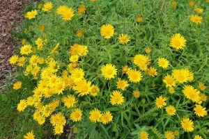 Buphthalmum salic.´Golden Yellow´