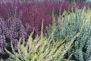 Calluna Garden Girls mix