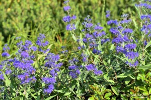 Caryopteris clandonensis ´Heavenly Blue´