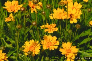 Coreopsis_Early__5013f6b0d4f7c.jpg