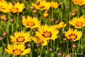 Coreopsis grandiflora ´Andiamo Yellow Red´