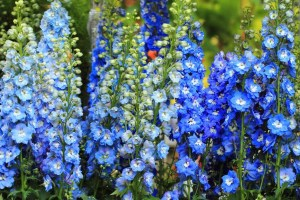 Delphinium Pacific ´Blue Bird´