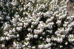 Erica carnea ´White Perfection´