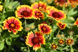 Gaillardia aristata ´Arizona Sun´