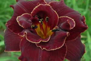Hemerocallis ´Night Embers´