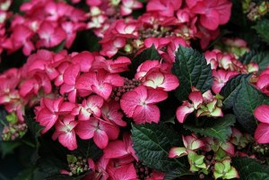 Hydrangea macrophylla 'Dark Angel Red'