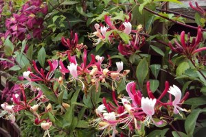 Lonicera japonica ´Red World´