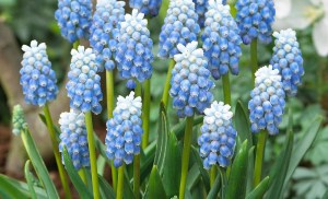 Muscari armeniacum ´Peppermint´