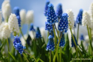 Muscari aurechi Dark Eyes