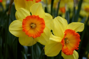 Narcis Delibes