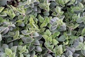 Origanum ´Hot & Spicy´