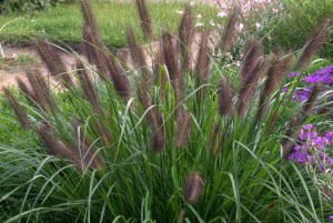 Pennisetum alopecuroides ´Black Beauty´