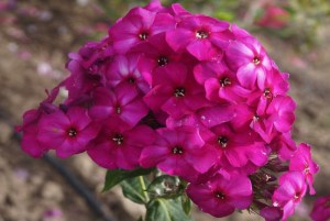 Phlox paniculata ´The King´