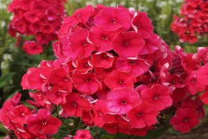 Phlox paniculata ´Grenadine Dream´