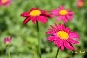 Tanacetum coccineum ´Robinson´s Red´