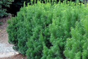 Taxus baccata ´Hicksii´