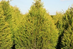 Thuja plicata ´Little Boy´