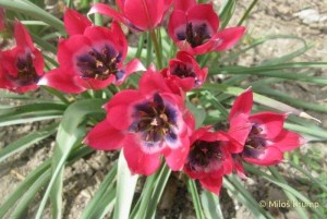 Tulipa Little Beauty