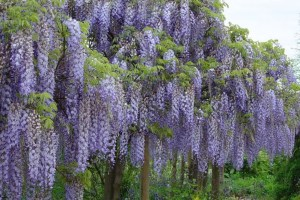 Wisteria floribunda ´Blue Dream´